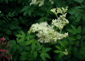 "«<a href=""http://commons.wikimedia.org/wiki/File:Filipendula-ulmaria.JPG#mediaviewer/Fil:Filipendula-ulmaria.JPG"">Filipendula-ulmaria</a>» av <a href=""//commons.wikimedia.org/wiki/User:Sten"" title=""User:Sten"">Sten Porse</a> - Own photo, taken in Jutland. Lisensiert under <a href=""http://creativecommons.org/licenses/by-sa/3.0/"" title=""Creative Commons Attribution-Share Alike 3.0"">CC BY-SA 3.0</a> via <a href=""//commons.wikimedia.org/wiki/"">Wikimedia Commons</a>."