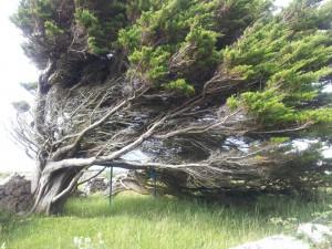 Et vindskjevt tre på Arranøyene. Skulle gjerne ha fått med hele, men det var DIGERT og rett ved veien.